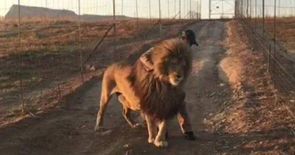 Όταν το λιοντάρι γίνεται …αρνάκι: Περπατά μόνο όταν το χαϊδεύουν (Vid)