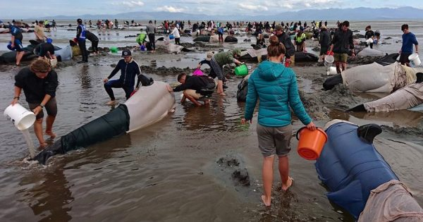 Μάχη για να σωθούν εκατοντάδες μαυροδέλφινα στη Νέα Ζηλανδία