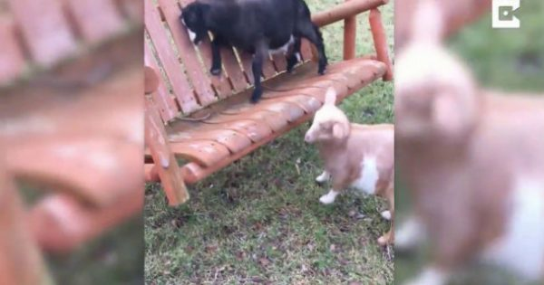 Aπίστευτο: Η κατσίκα που κλαίει λες και είναι μωρό! (video)