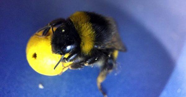 Μέλισσες έμαθαν να παίζουν… ποδόσφαιρο