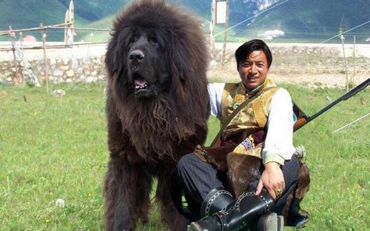 Ιμαλάια Θιβετιανά Μαστίφ