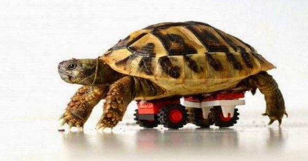 Απίστευτο: Ανάπηρη χελώνα ξαναπερπατά με ρόδες από Lego! (βίντεο)