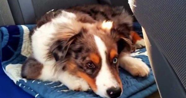 Βίντεο: Το κουτάβι που ξυπνάει κάθε φορά που ακούει το αγαπημένο του τραγούδι…. για να τραγουδήσει!