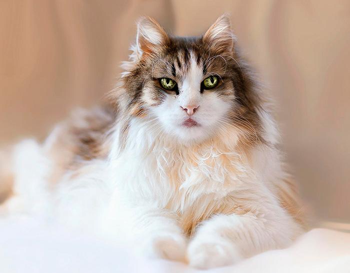 οι πιο όμορφες γάτες του κόσμου γάτος γάτες Γάτα