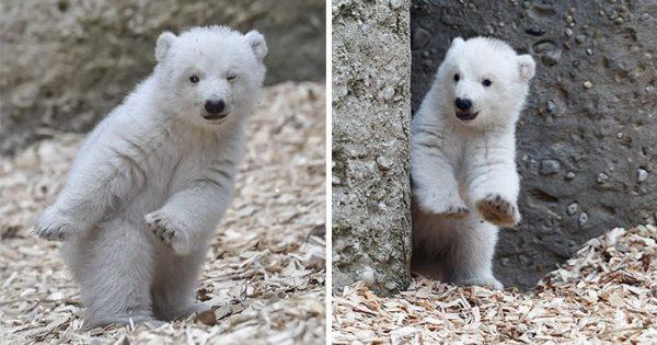 Αυτή η μικρή πολική αρκούδα κάνει τα πρώτα της βήματα και κλείνει το μάτι στην κάμερα!