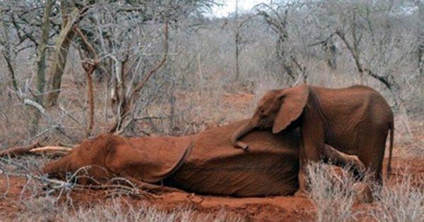 Μωρό Ελεφαντάκι αποχαιρετάει τη Μαμά του που δολοφονήθηκε από Λαθροκυνηγούς. Δείτε τις εικόνες που Συγκλόνισσαν τον Πλανήτη!