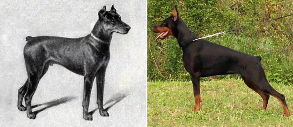 ράτσες σκύλων