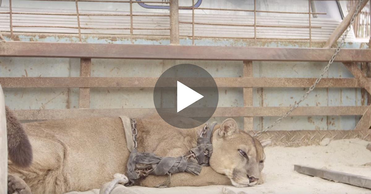 συγκλόνισε τον πλανήτη λιοντάρι λέαινα απελευθέρωση λιονταριού απελευθέρωση λέαινα
