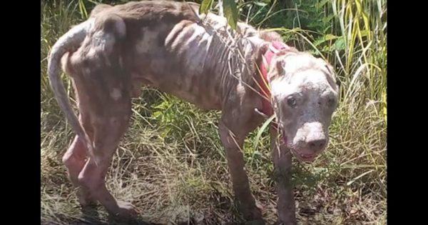 Όταν βρήκαν αυτόν τον σκελετωμένο σκύλο, πίστεψαν ότι δεν θα τα καταφέρει. Δείτε όμως ΠΟΣΟ όμορφος είναι σήμερα!