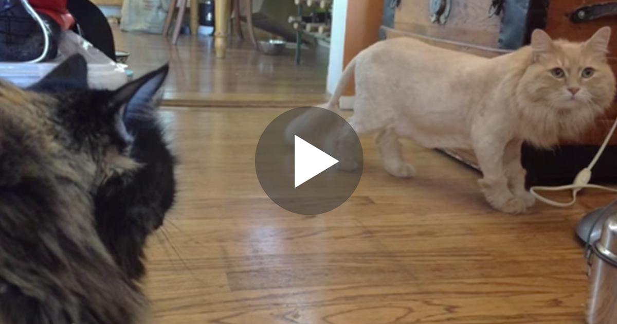 κούρεψε τον γάτο γάτος γάτες Γάτα