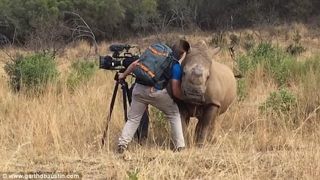 ρινόκερος θηλυκός ρινόκερος Η μαγική στιγμή που θηλυκός ρινόκερος πλησιάζει έναν κάμεραμαν για να της χαϊδέψει την κοιλιά. Δείτε το καταπληκτικό βίντεο!