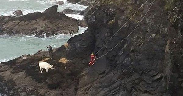 ΑΠΙΣΤΕΥΤΟ: Έκαναν 2 μέρες να σώσουν μια έγκυο αγελάδα που είχε πέσει από βράχο
