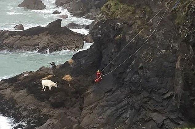 Έκαναν 2 μέρες να σώσουν μια έγκυο αγελάδα που είχε πέσει από βράχο διάσωση αγελάδας αγελάδες αγελάδα