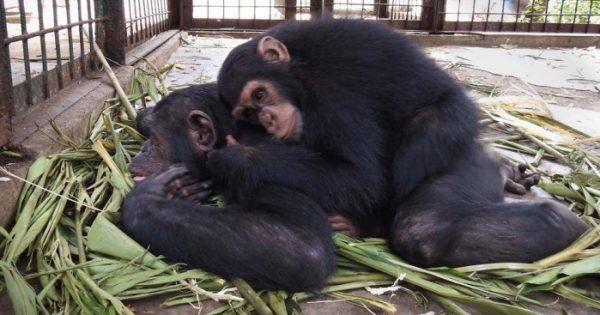 Τρομαγμένος μικρός χιμπαντζής που σώθηκε από λαθρέμπορους βρίσκει μια νέα ζωή