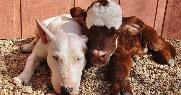 Αγελάδα που σώθηκε από σφαγή ζει με 12 σκύλους και νομίζει ότι είναι μια από αυτούς