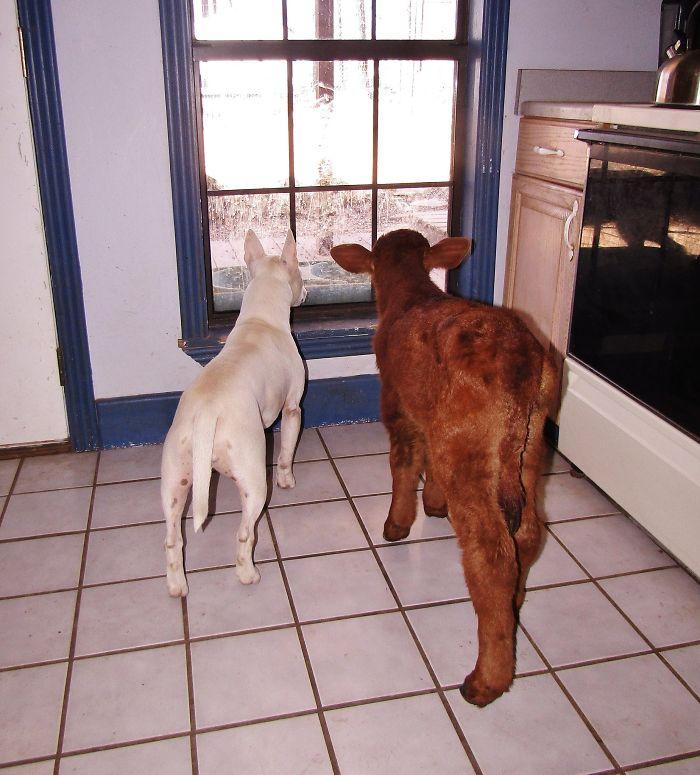αγελάδες Αγελάδα που σώθηκε από σφαγή ζει με 12 σκύλους και νομίζει ότι είναι μια από αυτούς αγελάδα