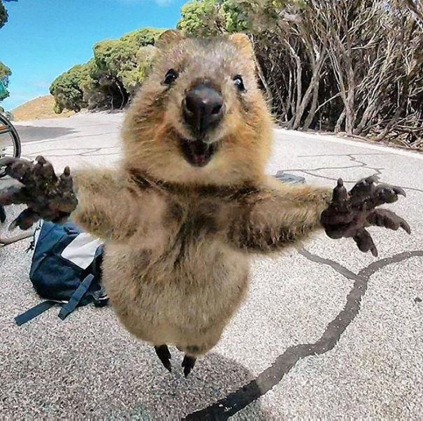 Τα κουόκα είναι τα πιο ευτυχισμένα ζωάκια του κόσμου κουόκα