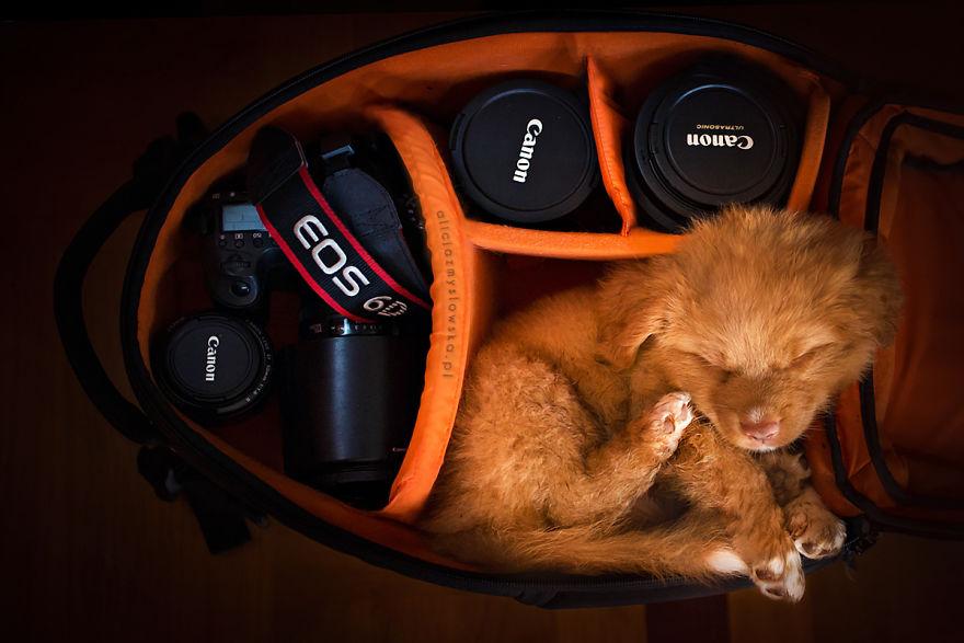 Σκύλος σκύλοι σκυλάκι Μερικά κουτάβια αποφάσισαν να κοιμηθούν στην τσάντα μιας φωτογράφου! κουτάβια κουτάβι