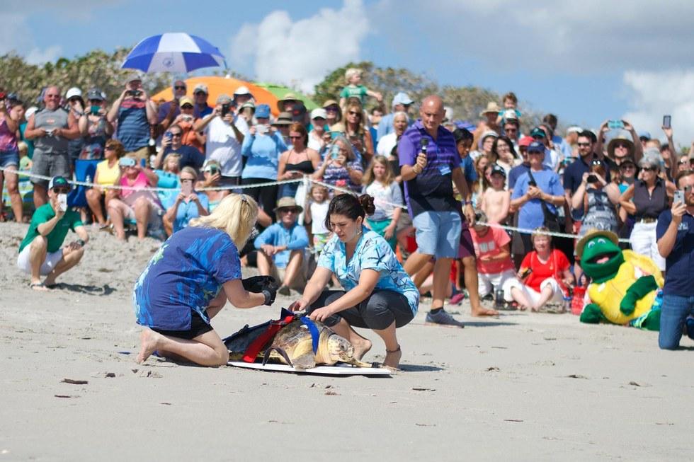 χελώνες χελώνα Πλήθος ανθρώπων αποθεώνει μια θαλάσσια χελώνα ενώ αυτή επιστρέφει στη θάλασσα θαλάσσια χελώνα