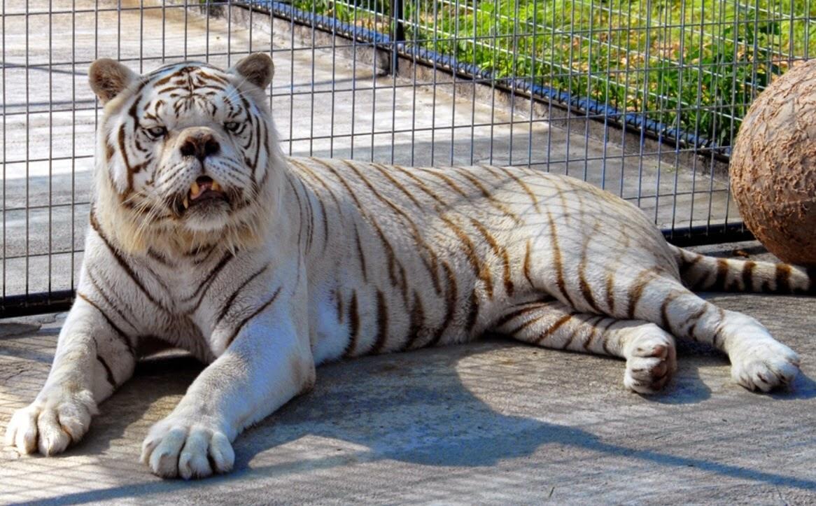 ώα με σύνδρομο Down Τίγρης σύνδρομο Down Πολική αρκούδα λιοντάρια λιοντάρι λευκή τίγρης καμηλοπάρδαλη γορίλες γορίλας γάτος γάτες Γάτα βραδύπους βραδύποδες 20 ζώα με σύνδρομο Down που θα σας ζεστάνουν την καρδιά