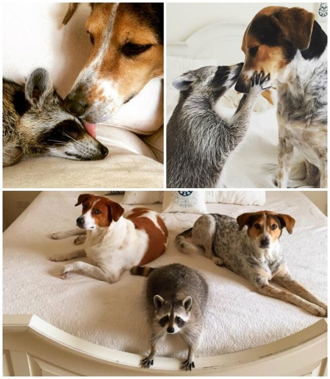 ζώα που μεγάλωσαν μαζί 15 φωτογραφίες μαζί με τις ιστορίες τους από ζώα που μεγάλωσαν μαζί