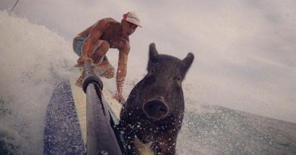 Γουρουνάκι αγαπάει να κάνει σερφ και κολυμπάει πιο γρήγορα από όλους!