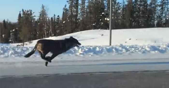 λύκος λύκοι Γυναίκαι τραβάει βίντεο δύο τεράστιους λύκους να τρέχουν δίπλα από το αυτοκίνητο της την ώρα που πηγαίνει στη δουλειά της