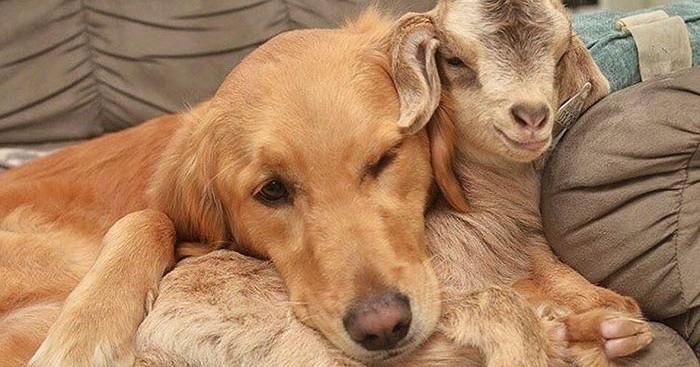 Σκύλος σκύλοι Σκυλίτσα νομίζει ότι αυτά τα κατσικάκια είναι παιδιά της και δεν μπορεί να σταματήσει να τα αγκαλιάζει σκυλίτσα κατσίκι κατσικάκια κατσικάκι