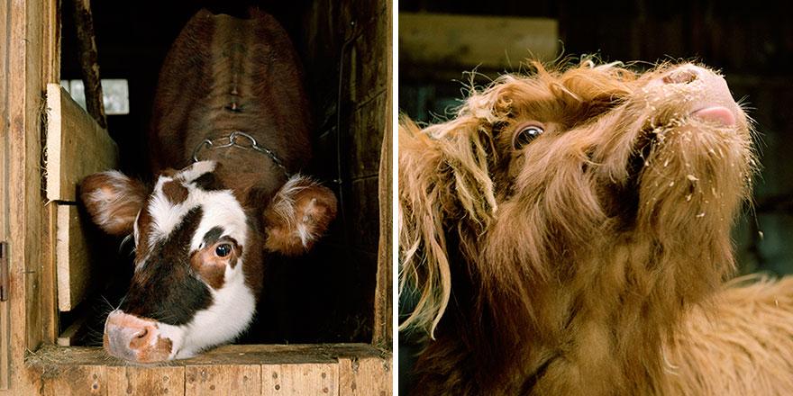 ζώα σε φάρμες Αυτός ο φωτογράφος φωτογραφίζει ζώα σε φάρμες όπως κανείς άλλος