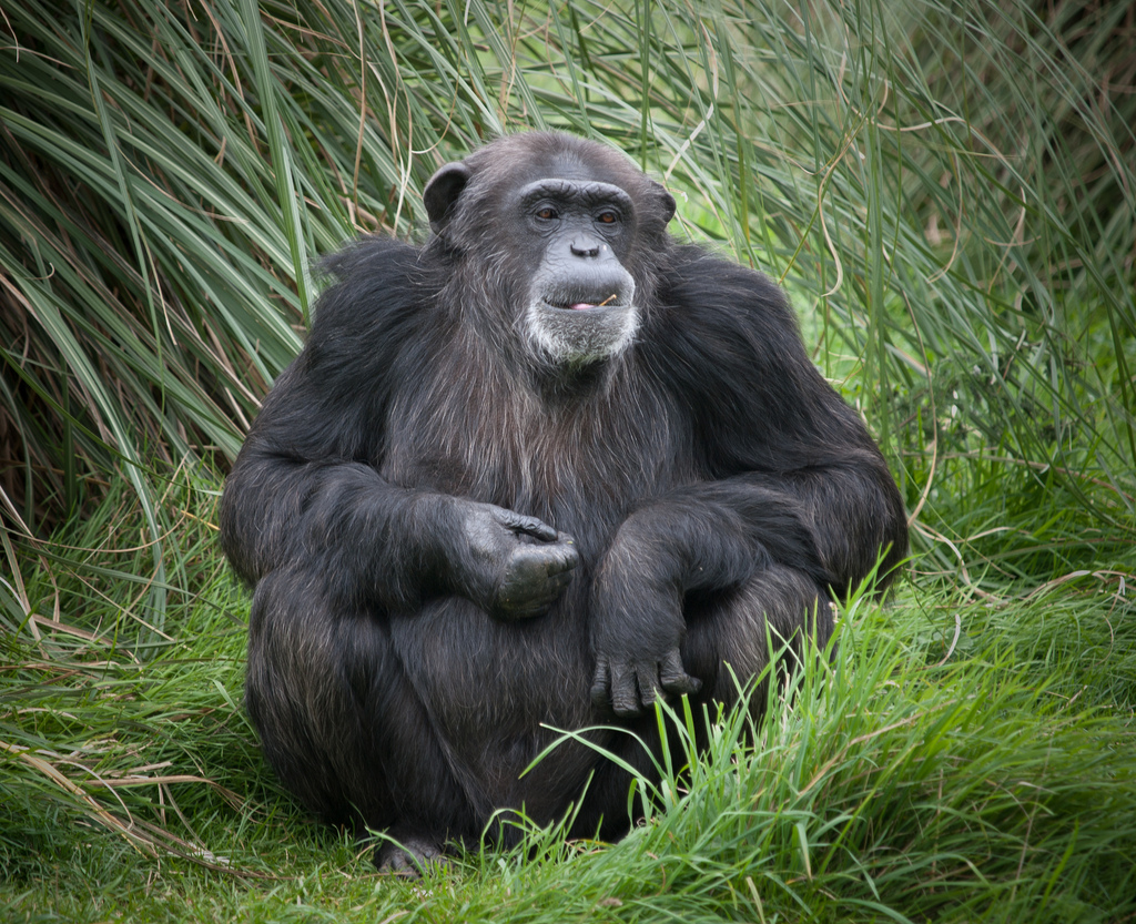 χταπόδι χιμπατζής σκίουρος ποντίκι Περιστέρι ουρακοτάγκος κοράκι ζώα έξυπνα ζώα ελέφαντας δελφίνι γουρούνι