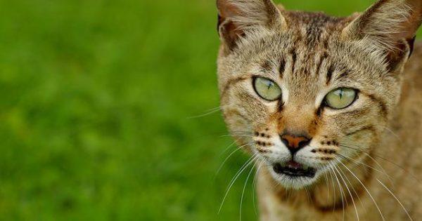 Σπιτικές θεραπείες για να απαλλάξτε τη γάτα σας από τους ψύλλους