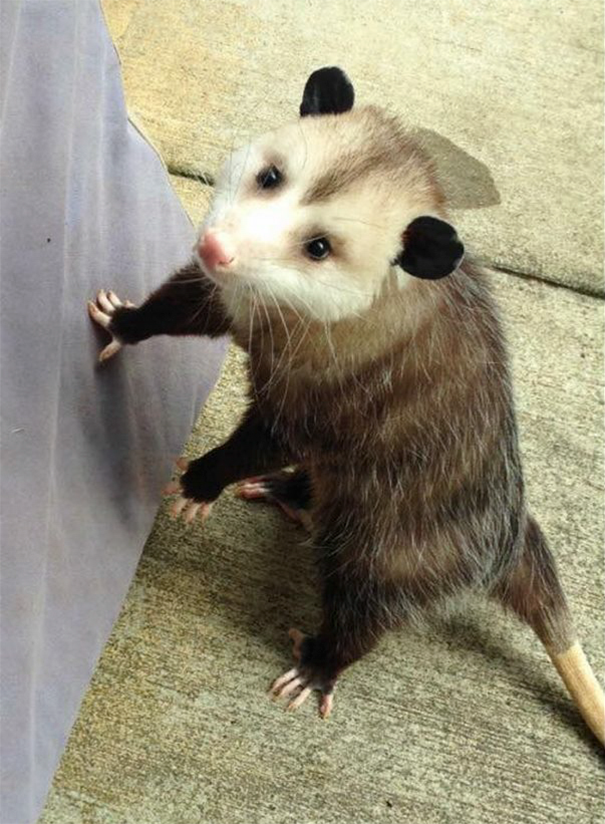 ορφανό οpossum Γύναικα φροντίζει ένα ορφανό οpossum κι αυτό δεν θέλει να φύγει μακριά της opossum