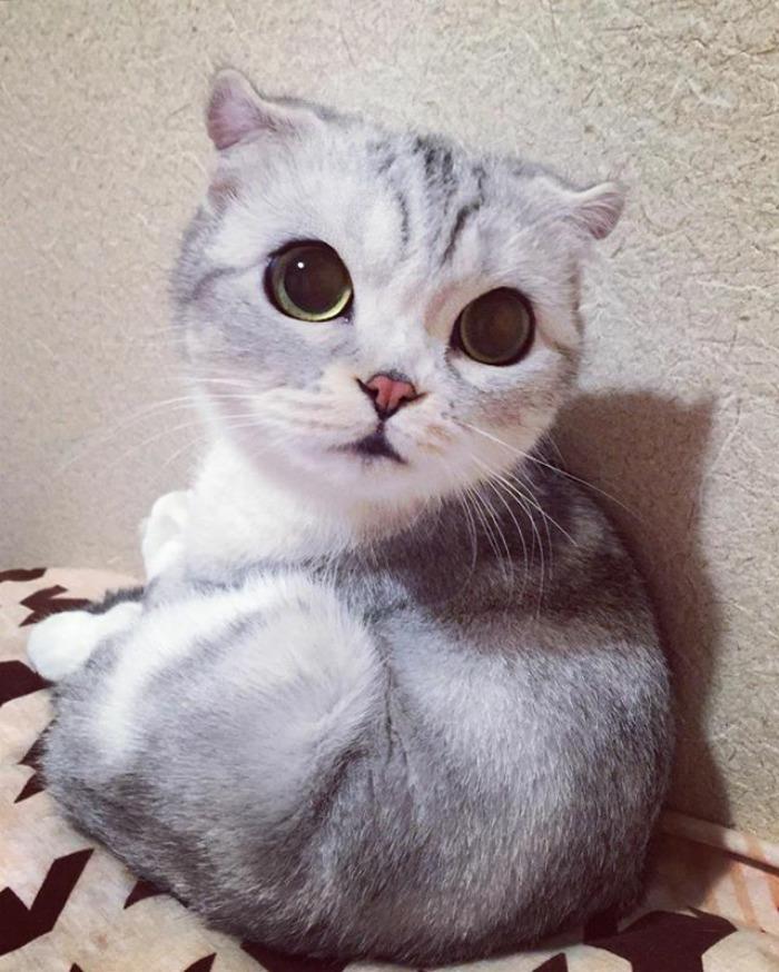 γάτα από την Ιαπωνία Αυτή η γάτα από την Ιαπωνία έχει τα πιο μεγάλα και εκφραστικά μάτια που έχουμε δει