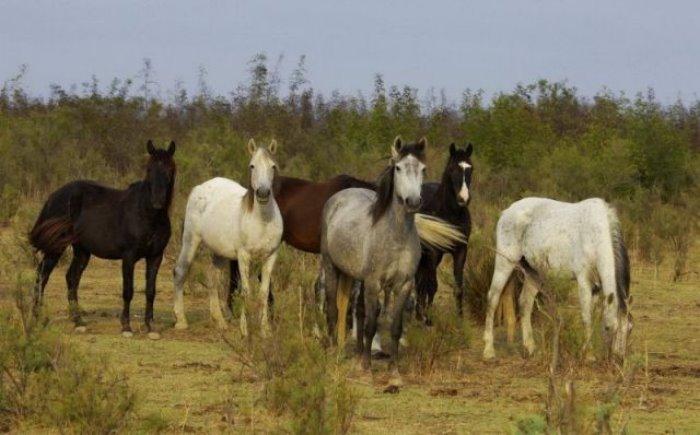 αξιός άλογα άγρια άλογα