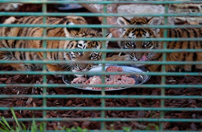 τίγρεις Σιβηρίας
