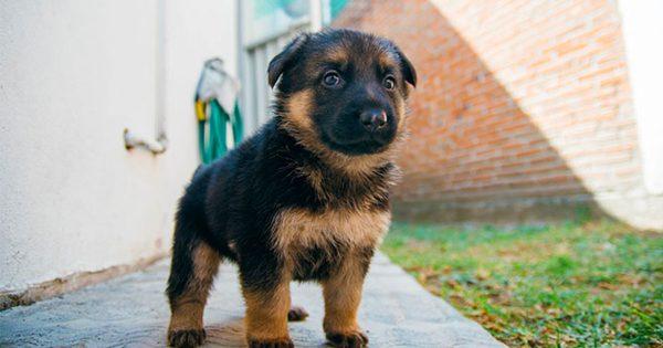 15 Αξιολάτρευτοι λόγοι που αποδεικνύουν ότι οι Γερμανικοί Ποιμενικοί είναι τα καλύτερα Σκυλιά του κόσμου.