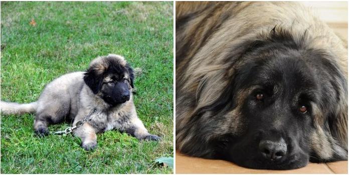 σπάνιες ράτσες σκύλων Σκύλος σκύλοι ράτσες σκύλων ράτσες 21 σπάνιες ράτσες σκύλων που δεν γνωρίζετε ότι υπάρχουν! Απλά δείτε την φατσούλα στο νο.14!