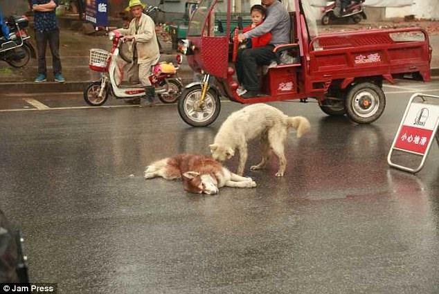 Σκύλος σκύλοι Η συγκινητική στιγμή που σκύλος προσπαθεί να ξυπνήσει το νεκρό φίλο του
