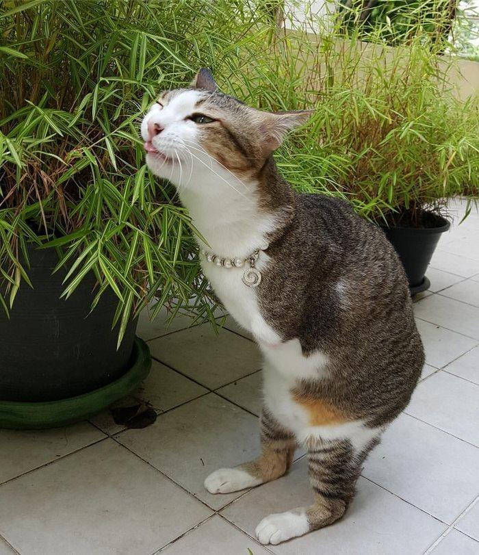 γάτες γάτα που έχει μόνο δύο πόδια Γάτα Αυτή η γάτα που έχει μόνο δύο πόδια θα σας εκπλήξει με το πόσα πολλά πράγματα μπορεί να κάνει