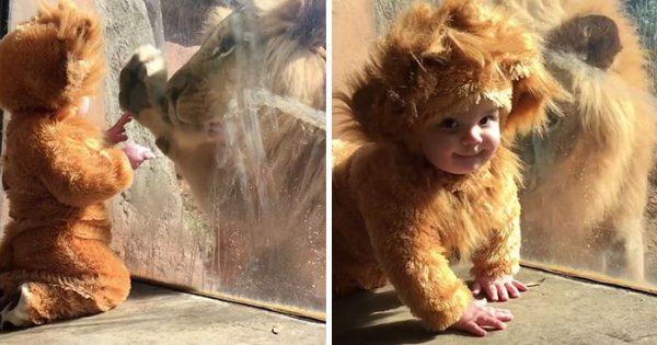 Μωρό ντυμένο με στολή λιονταριού πλησιάζει αληθινό λιοντάρι και αυτό κοιτάζει απορημένο