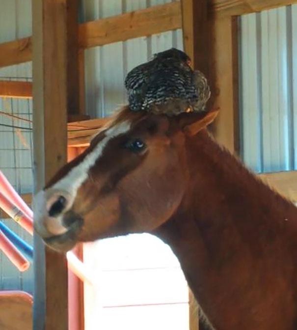 Γυναίκα πηγαίνει να δει το άλογο της στον στάβλο και ξεκαρδίζεται όταν βρίσκει μια κότα να κοιμάται στο κεφάλι του