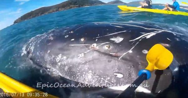 Φάλαινα πλησιάζει ανθρώπους που κάνουν καγιάκ και αυτοί βουτάνε στη θάλασσα (video)