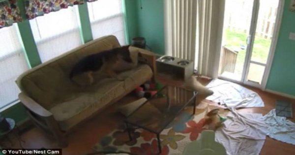 Δεν θα πιστέψετε τι κάνουν τα κατοικίδια στο σπίτι όταν λείπουν οι ιδιοκτήτες (video)