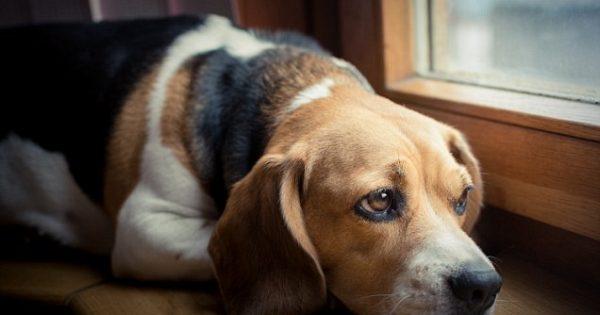 Μόλις δείτε ΤΙ παθαίνει ο σκύλος σας όταν τον αφήνετε μόνο στο σπίτι, θα τρομοκρατηθείτε! Πως μπορείτε να τον βοηθήσετε