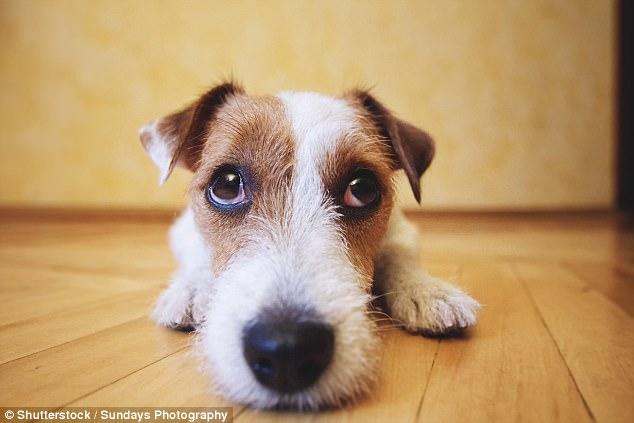 Μόλις δείτε ΤΙ παθαίνει ο σκύλος σας όταν τον αφήνετε μόνο στο σπίτι θα τρομοκρατηθείτε! Πως μπορείτε να τον βοηθήσετε