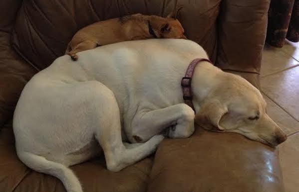 Σκύλος σκύλοι σκυλίτσα σκυλάκια σκυλάκι H σκυλίτσα μιας οικογένειας αφήνει τα σκυλάκια που φιλοξενούν να κοιμούνται πάνω της!