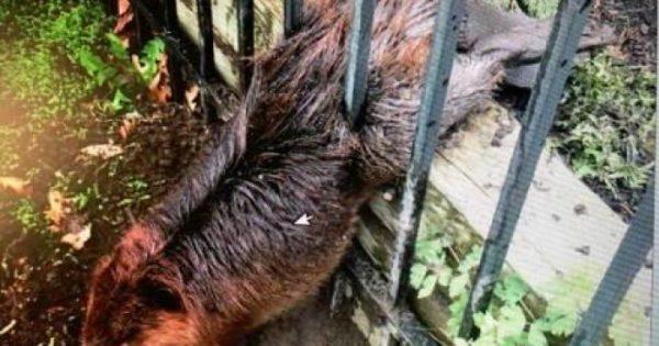 Παχουλός κάστορας καταφέρνει να κολλήσει σε σιδερένιο φράχτη