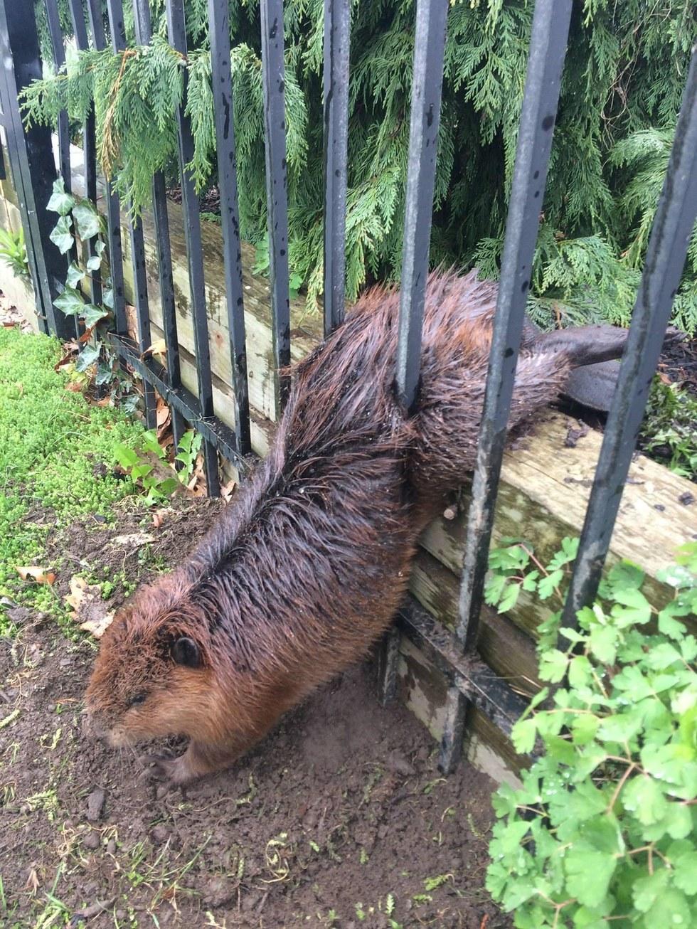 Παχουλός κάστορας καταφέρνει να κολλήσει σε σιδερένιο φράχτη κάστορες Κάστορας