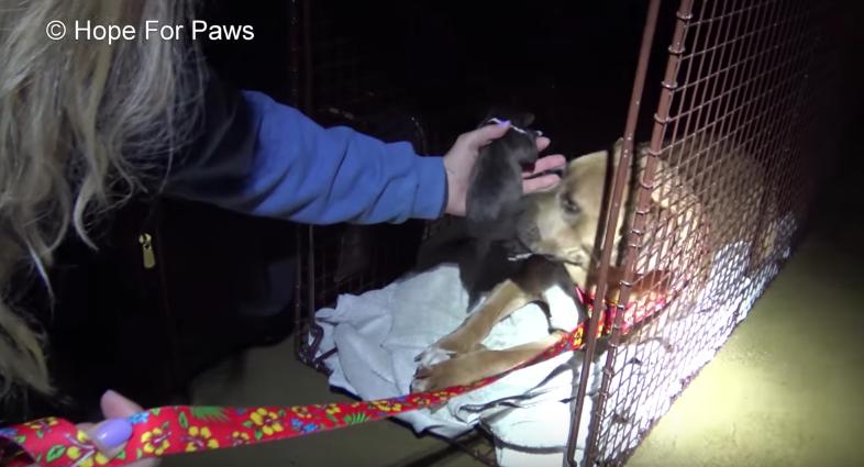 πίτμπουλ κουτάβια κουτάβι Pitbull φιλάει τα κουτάβια του ένα ένα όσο διασώστες τα μεταφέρουν σε ασφαλές μέρος Pitbull