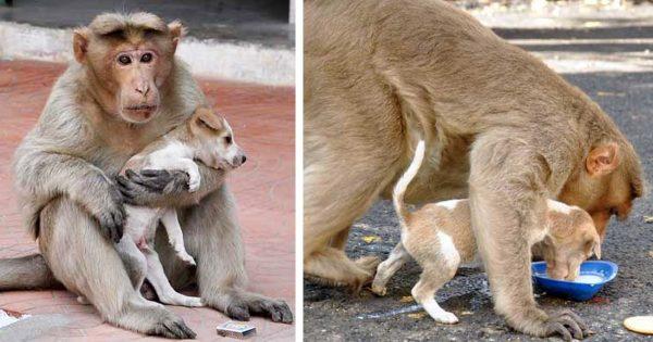 Μαϊμού βρίσκει εγκαταλελειμμένο κουτάβι, το υιοθετεί και το προστατεύει από άλλα αδέσποτα σκυλιά
